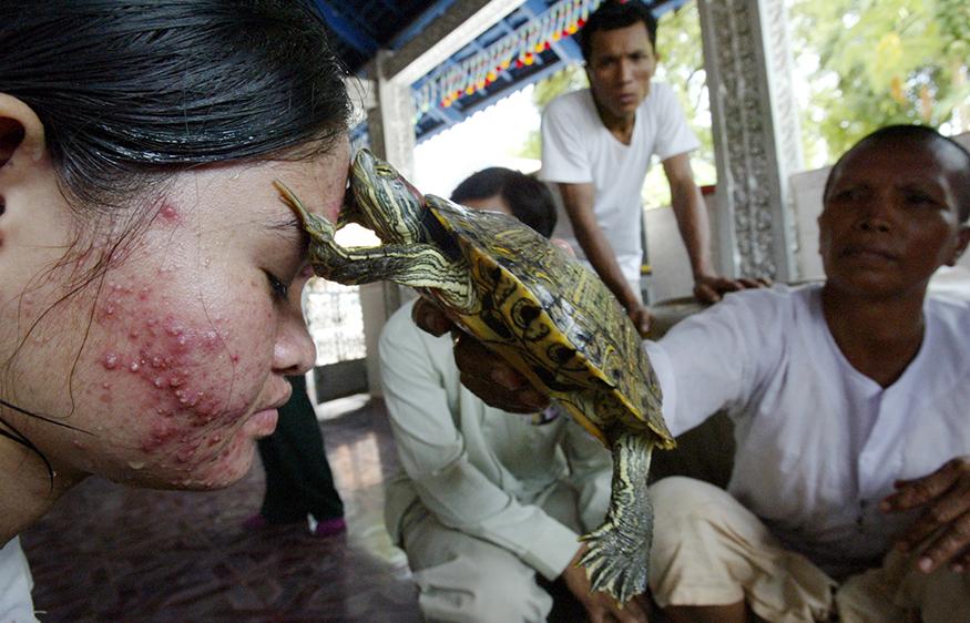 கம்போடியாவில் வாத நோயால் பாதிக்கப்பட்ட பெண்ணுக்கு ஆமை மூலம் மேற்கொள்ளப்படும் சிகிச்சை.