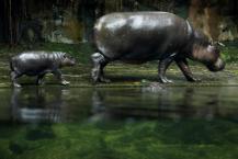 சிங்கப்பூர் வன உயிரியியல் பூங்காவில் புதிதாகப் பிறந்த விலங்குகள் - நீர் யானை குட்டி தனது தாயுடன்
